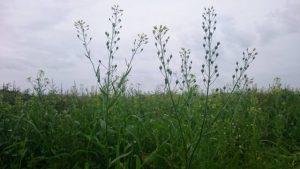 北海道で栽培したカメリナサティバ
